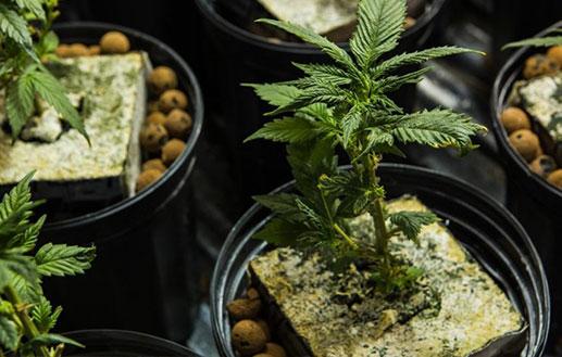 Alberta Cannabis